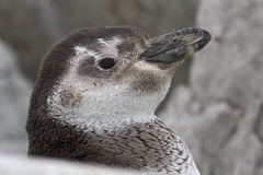 Portrait of a Magellanic penguin moulting among the rocks Stock Photo