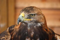 A portrait of a magnificent golden eagle Royalty Free Stock Photography