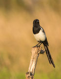 Portrait of a Magpie Royalty Free Stock Photo