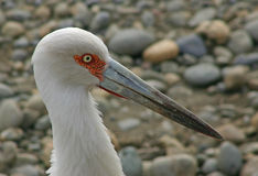 Portrait of a maguari stork royalty free stock photography