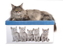 Portrait of maine coon cat on the box, isolated on white backgro Royalty Free Stock Image