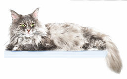 Portrait of maine coon cat on the box, isolated on white background Royalty Free Stock Photo