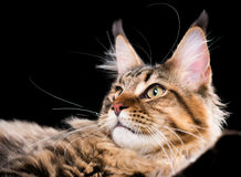 Portrait of Maine Coon cat Royalty Free Stock Photos