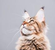 Portrait of Maine Coon cat Stock Images