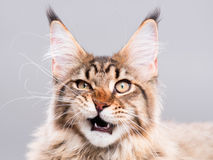 Portrait of Maine Coon cat Royalty Free Stock Images
