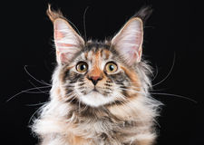 Portrait of Maine Coon cat. Portrait of domestic tortoiseshell Maine Coon kitten. Fluffy kitty on black background. Adorable curious young cat looking away Stock Images