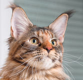 Portrait of Maine Coon cat. Portrait of domestic tortoiseshell Maine Coon kitten. Fluffy kitty in room at home. Close-up photo adorable curious young cat looking Stock Images