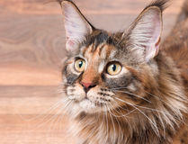 Portrait of Maine Coon cat. Portrait of domestic tortoiseshell Maine Coon kitten. Fluffy kitty in room at home. Close-up photo adorable curious young cat looking Stock Photos