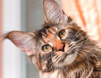 Portrait of Maine Coon cat. Portrait of domestic tortoiseshell Maine Coon kitten. Fluffy kitty in room at home. Close-up photo adorable curious young cat looking Royalty Free Stock Photo