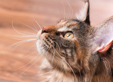 Portrait of Maine Coon cat. Portrait of domestic tortoiseshell Maine Coon kitten. Fluffy kitty in room at home. Close-up photo adorable curious young cat looking Royalty Free Stock Images