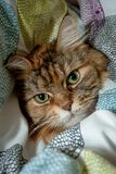 Portrait of Maine Coon Cat in the Duvets royalty free stock images