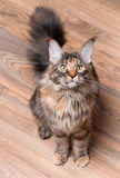 Portrait of Maine Coon cat. Fluffy tortoiseshell kitty sitting on a floor. Portrait of domestic Maine Coon kitten, top view point. Playful beautiful young cat Royalty Free Stock Image