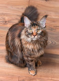 Portrait of Maine Coon cat. Fluffy tortoiseshell kitty sitting on a floor. Portrait of domestic Maine Coon kitten, top view point. Playful beautiful young cat Stock Images