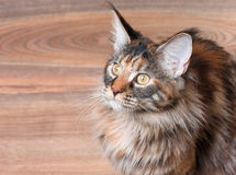 Portrait of Maine Coon cat. Fluffy tortoiseshell kitty sitting on a floor. Portrait of domestic Maine Coon kitten, top view point. Playful beautiful young cat Royalty Free Stock Photos