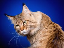 Portrait of Maine Coon cat. Portrait of funny Maine Coon cat. Close-up studio photo of beautiful big adult black tabby cat on blue background Royalty Free Stock Photography