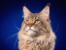 Portrait of Maine Coon cat. Portrait of funny Maine Coon cat. Close-up studio photo of beautiful big adult black tabby cat on blue background Royalty Free Stock Photo