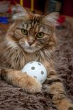 Portrait of Maine Coon Cat with Florball Balloon stock photography