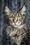 Portrait of maine coon cat Royalty Free Stock Photography