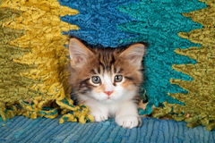 Portrait of Maine Coon Kitten. Portrait of a Main Coon kitten on blue carpet poking its head through the  fringe of a yellow and blue  blanket Royalty Free Stock Image