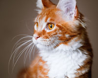 Portrait of Maine Coon kitten Royalty Free Stock Photo