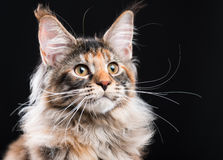 Portrait of Maine Coon kitten Stock Images