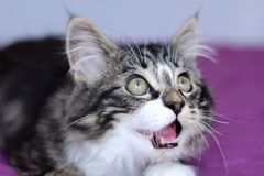 Portrait of a maine coon kitten who opens his mouth wide as if to speak Stock Photography