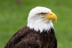 Portrait of a majestic bald eagle - Haliaeetus leucocephalus. On a nice green background royalty free stock image