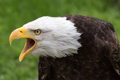 Portrait of a majestic bald eagle with open beak. On a green background royalty free stock photos