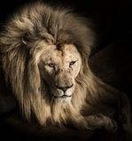 Portrait of Majestic Lion. Close up portrait of beautiful majestic lying Lion royalty free stock image