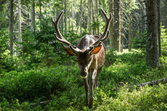 Portrait of majestic powerful adult deer the trees in a forest in Sumava Stock Photo