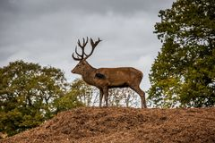 Portrait of majestic  red deer stag in Autumn Fall Stock Photo