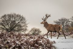 Portrait of majestic red deer stag in winter Royalty Free Stock Photography