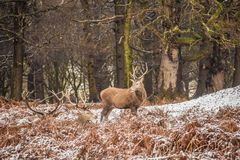 Portrait of majestic red deer stag in winter Royalty Free Stock Images
