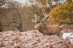 Portrait of majestic red deer stag in winter Royalty Free Stock Photo