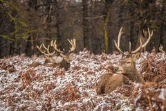 Portrait of majestic red deer stag in winter Royalty Free Stock Image