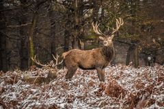 Portrait of majestic red deer stag in winter Royalty Free Stock Photos