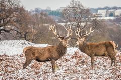 Portrait of majestic red deer stag in winter Stock Photos