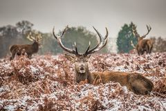 Portrait of majestic red deer stag in winter Stock Images