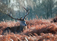 Portrait of majestic red deer stag in Autumn Fall Royalty Free Stock Image