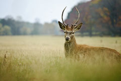 Portrait of majestic red deer stag in Autumn Fall Stock Image