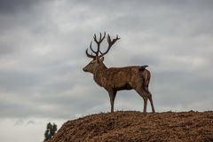 Portrait of majestic red deer stag in Autumn Fall Royalty Free Stock Photos