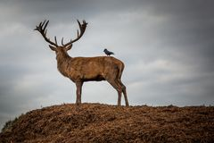 Portrait of majestic red deer stag in Autumn Fall Royalty Free Stock Photo