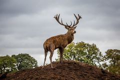 Portrait of majestic  red deer stag in Autumn Fall Stock Images