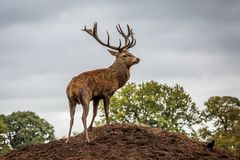 Portrait of majestic  red deer stag in Autumn Fall Royalty Free Stock Photography