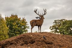 Portrait of majestic red deer stag and two birds in Autumn Fall Stock Image