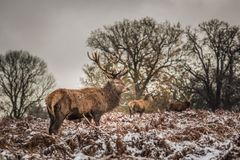 Portrait of majestic red deer stag in winter Stock Photo