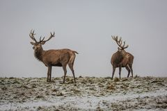Portrait of majestic red deer stag in winter Stock Photography
