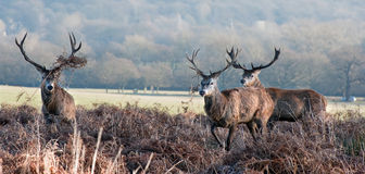 Portrait of majestic red deer stags in Autumn Fall Royalty Free Stock Photography