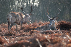 Portrait of majestic red deer stags in Autumn Fall Royalty Free Stock Photo