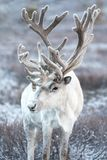 Portrait of a reindeer in Mongolian taiga. stock photos